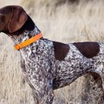 German Shorthaired Pointer Electric Collars