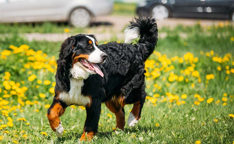 Best Food for Bernese Mountain