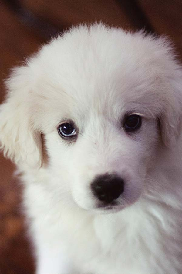 Great Pyrenees Puppy feeding guide