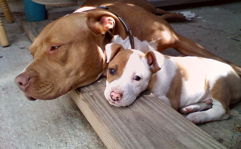 How Much To Feed A Pitbull Puppy