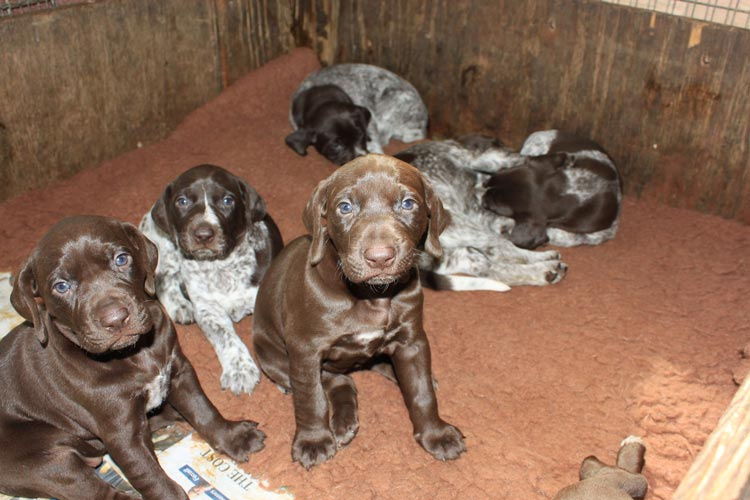 How Much To Feed A German Shorthaired Pointer Puppy