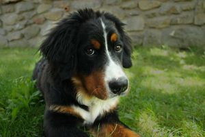 How Much to Feed a Bernese Mountain Puppy