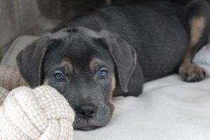 How Much to Feed a Cane Corso Puppy