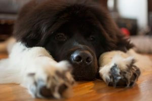 How Much to Feed a Newfoundland Puppy