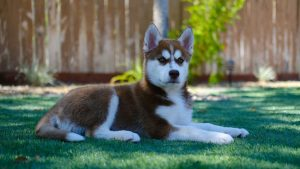 How Much to Feed a Siberian Husky Puppy
