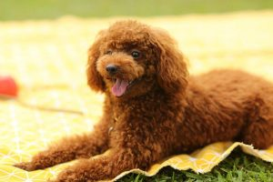 How Much to Feed a Standard Poodle